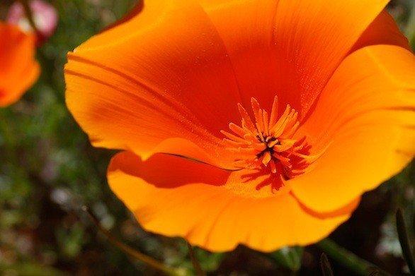 State flower of california golden poppy choice image flower poppy california golden california golden poppy by moonprincess22 on deviantart mightylinksfo mightylinksfo